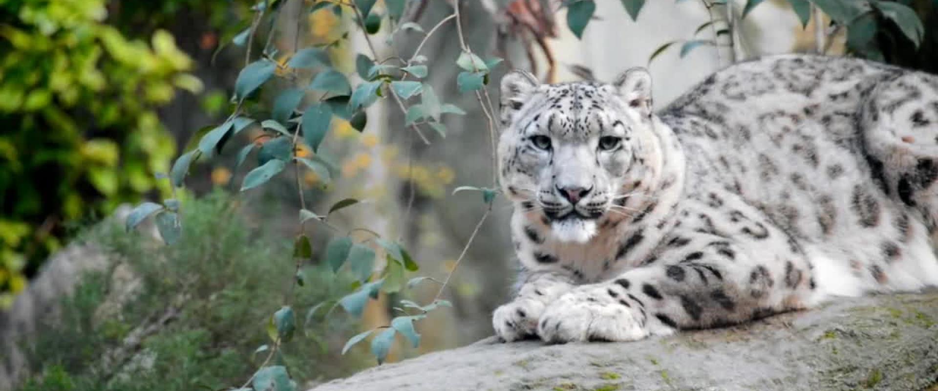 #LoveEarth - Leopardo delle nevi