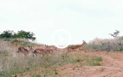 Gli impala