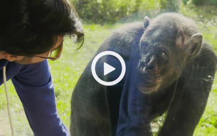 Il Signor Franz al Bioparco - Scimpanzè