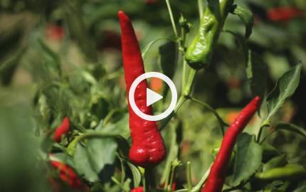Il peperone dolce di Altino