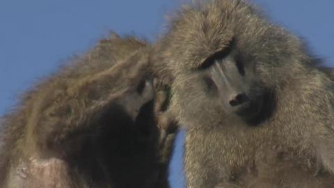 Diari dalla savana - A spasso con i babbuini