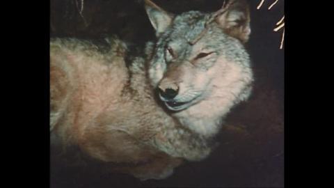 Bellezza selvaggia - Il lupo