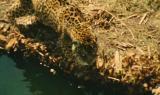Il ghepardo 2
